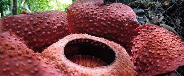 how to find a rafflesia gunung gading national park Kuching sarawak