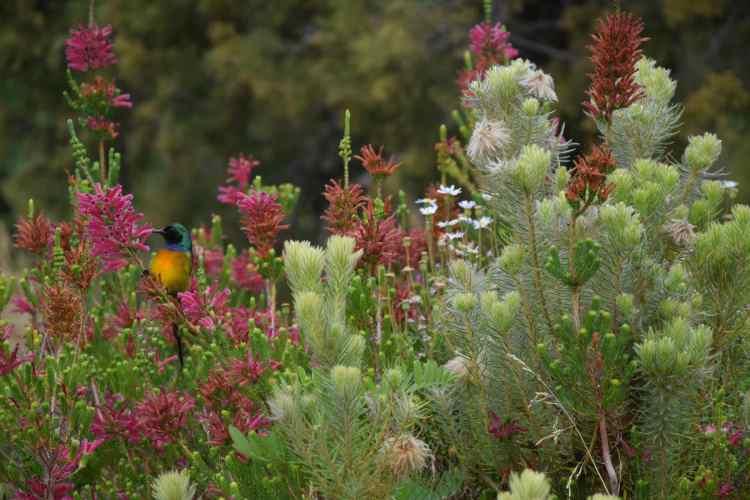 KirstenboschBotanical Garden cape town
