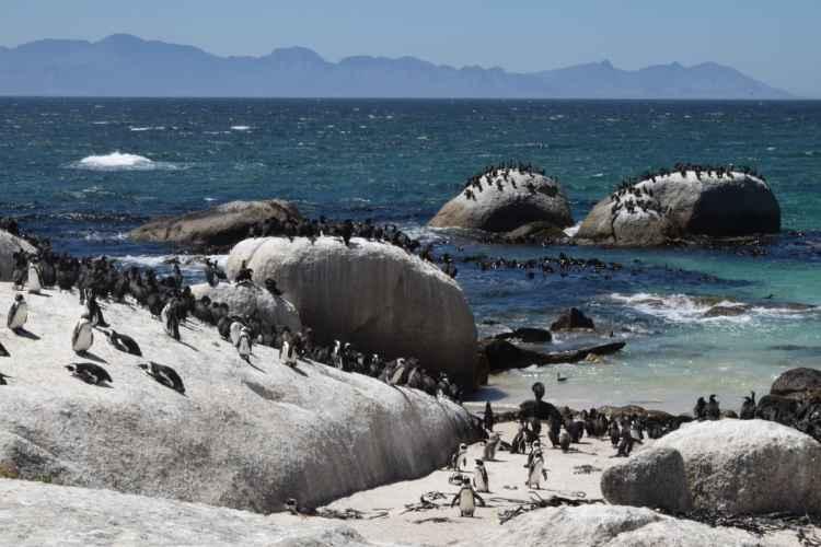 pinguini sud africa