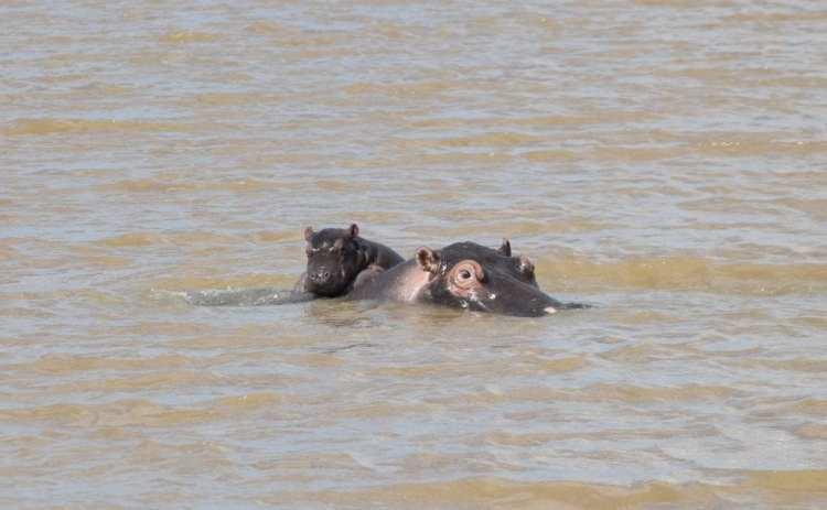 St Lucia Hippo KZN