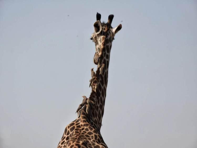 Thornicroft giraffe Zambia Safari