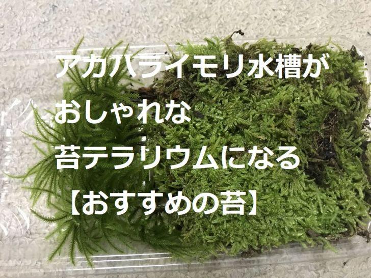 アカハライモリ水槽がおしゃれな苔テラリウムになる【おすすめの苔】