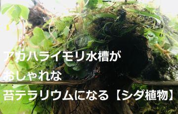 アカハライモリ水槽がおしゃれな苔テラリウムになる【シダ植物】