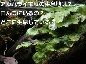 アカハライモリの生息地は?田んぼにいるの?どこに生息している?