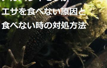 アカハライモリがエサを食べない原因と食べない時の対処方法