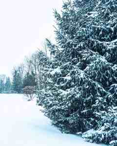 pine trees covered in snow in december