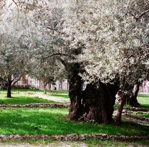 Tree in Gethsemane