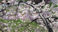 View of the blossoms from inside a tree