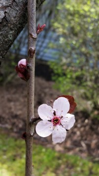 One little cherry blossom and one about to bloom