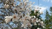 The sign said this is a magnolia stellata centennial