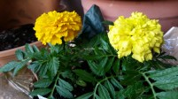 Another favorite, marigolds
