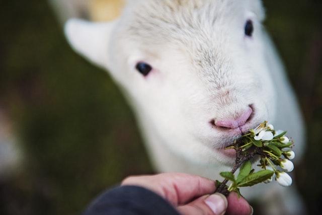 仔ヤギとその口元に花をあてる人の手