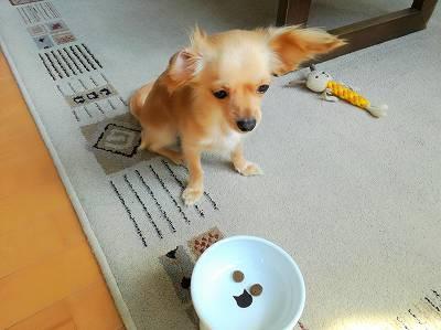ゴハンをマテされる超小型犬グミ