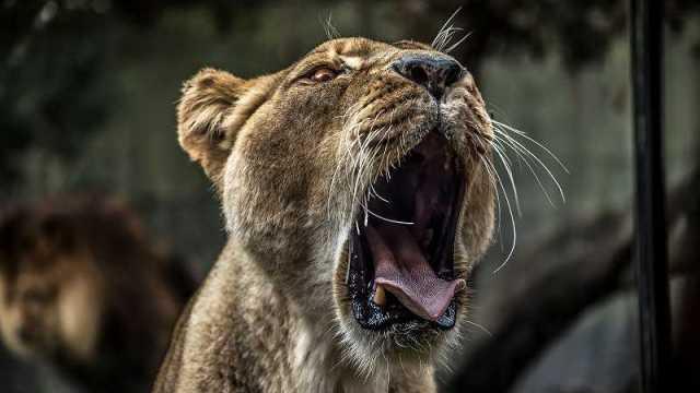 ライオンのメスの変顔