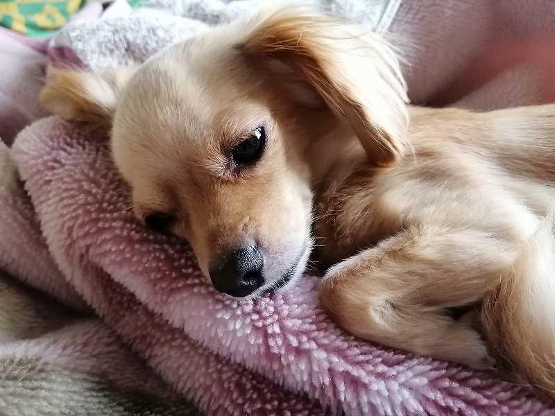 寝るミックス犬