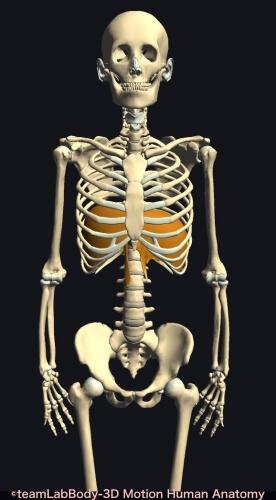 便秘出し方 腹筋 横隔膜