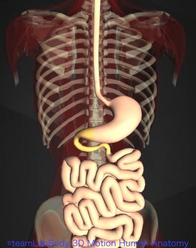 消化管 構造 機能 十二指腸