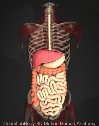 大腸 機能 働き