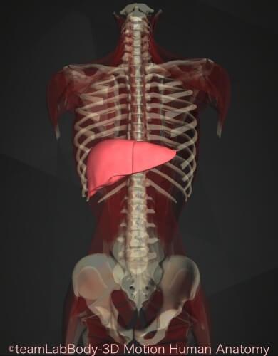 消化管 構造 機能 肝臓