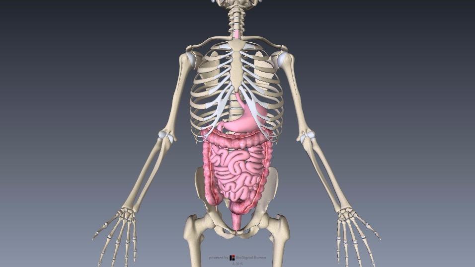 消化器系 胃・小腸・大腸