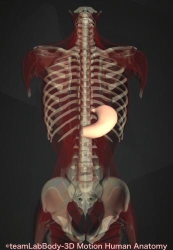 消化管 構造 機能 胃