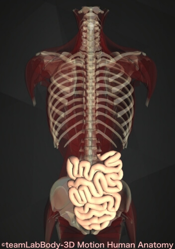 小腸 位置 図 空腸回腸