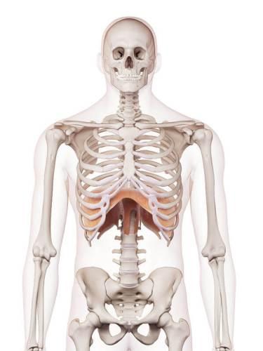 肺場所 痛み 位置 図 横隔膜
