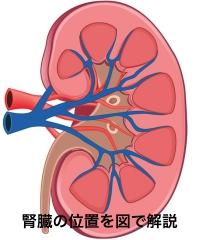 腎臓の位置を図で解説。腎臓の機能と働きについて