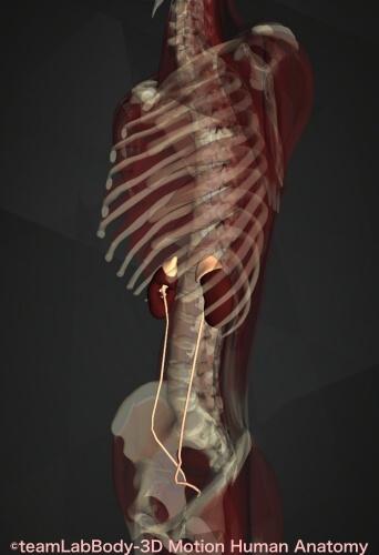 腎臓 場所 解剖図 横から