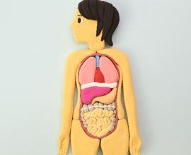 内臓の位置を解剖図で解説 臓器の場所をチェック!