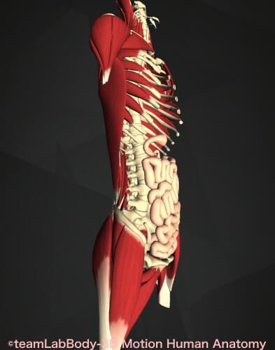 小腸位置図 横図