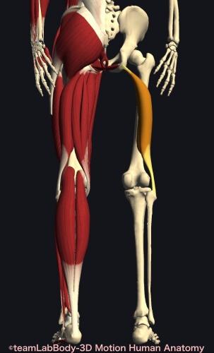 ウォーキング 筋肉痛 大腿二頭筋