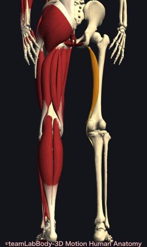 ウォーキング 筋肉痛 半腱様筋