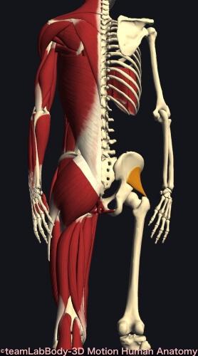 ウォーキング 筋肉痛 小臀筋