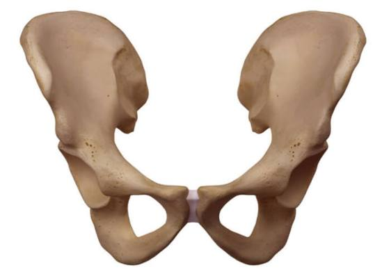 尾骨 位置 図 寛骨