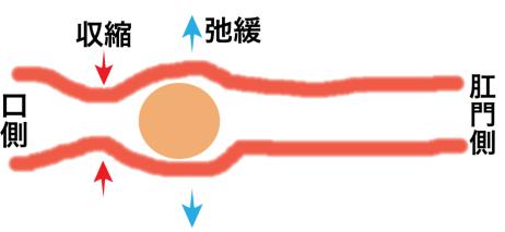 腸の運動 蠕動運動
