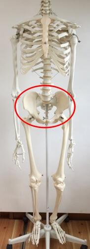 坐骨 位置 図