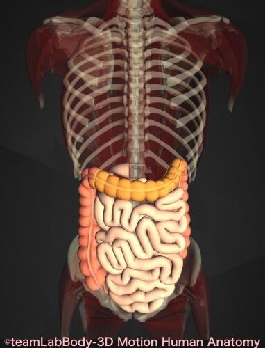 横行結腸 小腸 痛み 位置 図