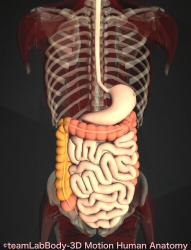 上行結腸 位置 図