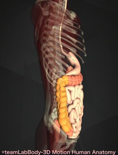 上行結腸 位置 図 横 痛み