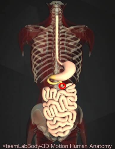 内臓 位置 図 十二指腸 トライツ靭帯