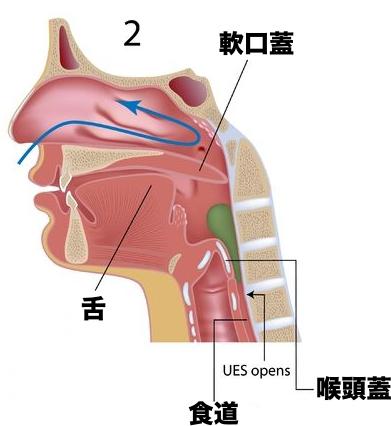 消化管 構造 機能 軟口蓋 喉頭蓋