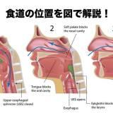 食道 位置 解剖図