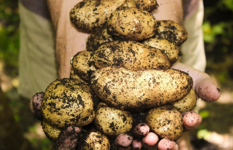 80% upraw ziemniaków zniszczonych