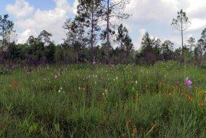 Restored mitigation wetlands