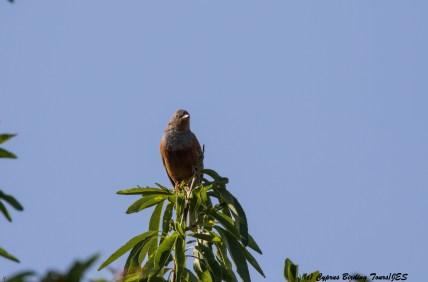 Cretzschmar's Bunting, Prastio April 7th 2016 (c) Cyprus Birding Tours