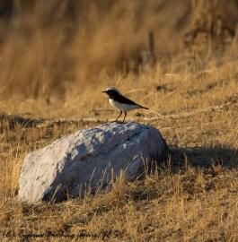 Finsch's Wheatear Anarita Park 24th November 2016 (c) Cyprus Birding Tours