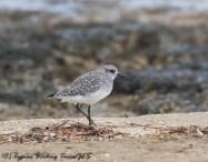 Grey Plover, Agia Trias, 29th November 2016 (c) Cyprus Birding Tours