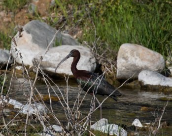 Glossy Ibis, Germasogeia Dam 24th April 2017 (c) Cyprus Birding Tours