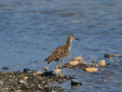 Ruff, Lady's Mile, 7th April 2017 (c) Cyprus Birding Tours